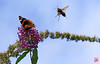 万歳 (mamnic47 - Over 8 millions views.Thks!) Tags: 23082017 maresaintjames étangsaintjames sigma150600mm 6c8a1297 papillon abeille vulcain vanessaatalanta benzaï attaque