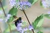 DSC_6584 bee on blue flower (dllarson2009) Tags: kansas bakerwetlands