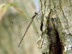 Spreadwing IMG_5581 (Jennz World) Tags: ©jennifermlivick spreadwing damselfly bannisterlake ayr ontario canada dragonfly