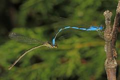 Big Bluet - Enallagma durum, Occoquan Bay National Wildlife Refuge, Woodbridge, Virginia (judygva) Tags: