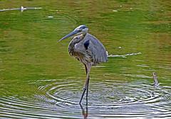 Great Blue Heron 2 (Wils 888) Tags: greatblueheron heron nj newjersey wild nature usa bird