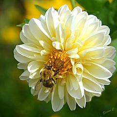 The Bees are still Busy (Eleanor (No multiple invites please)) Tags: bee busheyrosegarden bushey uk nikond7200 august2017