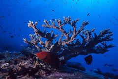 garoupa-coral - coral grouper (Cephalopholis miniata) (Eden Fontes) Tags: ttl 160 fotosub cephalopholisminiata fantasealiveaboard island8elephanthead f568 20mm scubadiving wideanglefotos similanislands strobeikelite300 fujifilmra660asa100 coralgrouper magicnumber125250 sealife tailândia 07m slideasa100200400 nikkor20mm mergulho slidedigitalizado andamansea 130 tailândiaemyanmar garoupacoral profundidademáxima323m 12051999 nikonnikonosv tempo43min viewfinder visibilidade25m