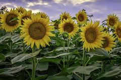 _LCH6724 kansas sunflower (snolic...linda) Tags: kansas lawrencekansas sunflowers sunrise