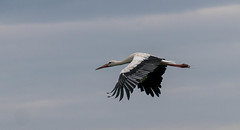 white stork in flight (a.limbeek) Tags: birds zomerdeveluwe achterhoek rivier zomer watervogels