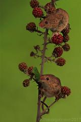 Harvest Mice2
