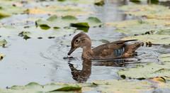 Canard branchu // Wood Duck (Alexandre Légaré) Tags: canardbranchu woodduck aixsponsa nikon d3200 bird wildbird oiseau animal stfrancois realdcarbonneau marais swamp marsh