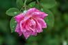 A refreshing summer rain (Pejasar) Tags: pink rose sparkling water drops rain summer 2017 blossom bloom plant garden home tulsa oklahoma