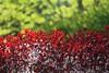 Sandcherry 08 (smilla4) Tags: shrub bush sandcherry flowers spring red pink green bokeh depthoffield maine closeup