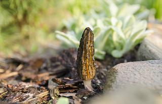 Smardz jadalny - Morchella esculenta