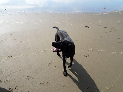 Dog on Harlech Beach -- photo 1