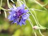 Marmalade Hoverfly (themadbirdlady) Tags: marmaladehoverfly episyrphusbalteatus cornflower insect gartmorndam
