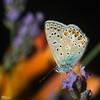 34_Papillons_7125 (darry@darryphotos.com) Tags: argusbleu azurécommun azurédelabugrane entomologie papillon