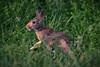 Wild bunny (drop_m) Tags: bunny wild 300mm ef70300mmf456 ef70300mmf456isusm canonef70300mmf456isusm canon canon70d 70d swamp italy 2017 summer nature naturallight 7dwf handeld sunset light lights highlights fauna grass leaf leaves field deepoffield dof deep animal eye f56