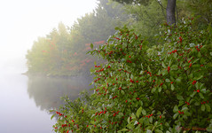 A Foggy Morning in Northern Ontario (Lindaw9) Tags: fog shanty bay northern ontario red berries foliage autumn colours water lake trees morning
