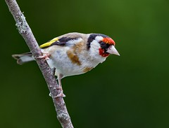 European Goldfinch (carduelis carduelis ) - Supper time  !! (Clive Brown 72) Tags: garden bird perched feeding flock wales goldfinch s opinion well