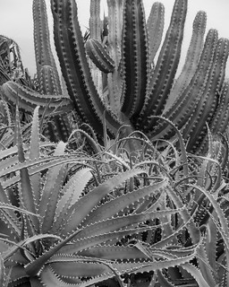 Cacti! Old Airport State Beach!!  Hawaii Island (B&W Version)