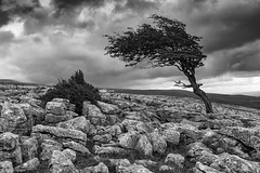 Nature's own topiary (Explore 28/08/17 #12) (andyrousephotography) Tags: twistleton twistletonscarend lancashiredales trees ravaged windblown limestonepavement limestone cracks erosion ingleton capabilitybrown capabilitygrey gardening topiary pruningshears rusty skeleton mystery murder talltales andyrouse canon eos 5d mkiii ef24105mmf4l