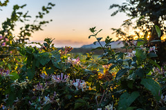 Honeysuckle (babs pix) Tags: honeysuckle sunset countryside cadaircountry evening