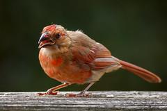 Rawr! (Karol A Olson) Tags: bird birdfeeder backyard sep17