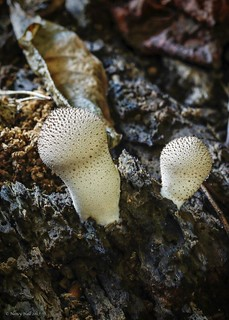 Common Puffball (Lycoperdon perlatum)