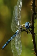 _DSC9396 - Southern Migrant Hawker (steve R J) Tags: southern migrant hawker canvey way island essex odonata british dragonfly