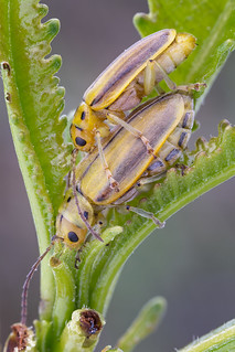 Mating Skeletonizing Leaf Beetles (Trirhabda eriodictyonis)