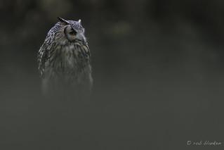 Eurasian Eagle-owl (Bubo bubo, oehoe)