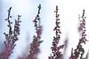 Bloeiende struikheide/Blooming heather (roelivtil) Tags: blooming callunavulgaris commonheather heather heide highkey ling lowpov struikheide fantasticflower