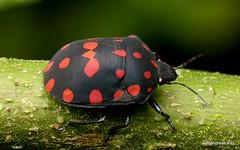 Jewel bug, Pachycoris torridus, Scutelleridae (Ecuador Megadiverso) Tags: andreaskay ecuador focusstack hemiptera jewelbug metallicshieldbug pachycoristorridus pentatomoidea pentatomomorpha scutelleridae shieldbackedbug truebug