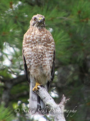 IMG_4111brwnghwkcopyg (Sally Knox Sakshaug) Tags: select nature outdoors alive broadwinged hawk perched stump tree feathers face beak eyes tail claw feet breast