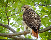 Red Tailed Hawk (PravinDwiwedi) Tags: birdphotography birds naturalbeauty naturephotography johnheinz philadelphia beauty travel blue forest wildlife canon60d canon70300mm manualmode ilovephily philytourism pa pennsylvania birdlovers heron