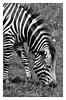 Zebra b&w_signed (Jason Bradshaw Photography) Tags: paigntonzoo wildlife wildlifephotography zoo zebra stripes blackandwhite blackandwhitephotography canon canonphotography capture canon400d contrast