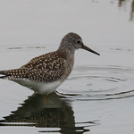 Tringa flavipes Lesser Yellowlegs thumbnail