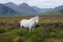 Wild Pony, Capel Curig, Snowdonia (Frightened Tree) Tags: tryfan nature snowdonia glyderau snowdon pen yr ole wen carneddau visitwales feral wild equine scene picturesque ogwen valley idwal cwm wales welsh dringo climb camping camp hiecio hike hiking llyn cowlyd lake reservoir