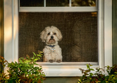 Tucker....   explore (Kevin Povenz Thanks for all the views and comments) Tags: 2017 august kevinpovenz westmichigan michigan ottawacounty ottawa jenison tucker dog pet window screen watching looking fur canon7dmarkii