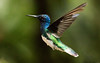 IMG_6403  White-necked Jacobin_hummingbird