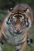 de mauvais poil (danse2f) Tags: tigreblanc 2017 nikon septembre zoodecerza cerza 300mmf4pfafsvr zoo tigredesumatra photoaccess d500 albumdédié