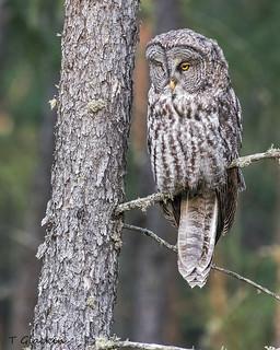 Great Gray Owl juvenile