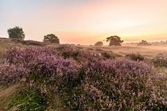 Die Heide brennt (webpinsel) Tags: blütezeit halteramsee landschaft morgenstimmung natur nebel sommer sonnenaufgang sythen westrup westruperheide