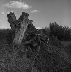 Broken Willow (Other dreams) Tags: broken fallen willow tree grass cloud split square 6x6 film ilford fp4 orangefilter sunset pomerania