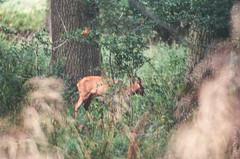 Roe deer, Asham Meads BBOWT reserve (FlickrDelusions) Tags: minoltaafreflex500mmf8 deer dyxumfilmchallenge minoltadynax5 otmoor ashammeads superiaxtra400 outdated filmsnotdeadonethirdkeepers 35mmfilm slr film fujifilm oxfordshire