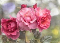 Monday rose (BirgittaSjostedt) Tags: rose monday rain drops texture paint bokeh summer magicunicornverybest macro flower garden birgittasjostedt