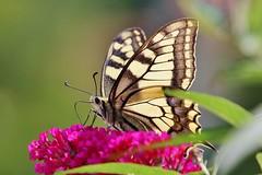 Schwalbenschwanz (Papilio machaon) (Hugo von Schreck) Tags: schwalbenschwanz papiliomachaon hugovonschreck butterfly schmetterling falter insect insekt macro makro fantasticnature canoneos5dsr tamron28300mmf3563divcpzda010 onlythebestofnature