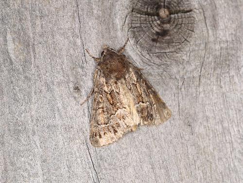 Noctuidae sp.