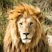 Lion, Serengeti National Park, Tanzania