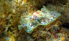 Alison M. Worral. Micromelo Undata (Minicaracol do mar). Baía de Maracaipe, PE, 2015
