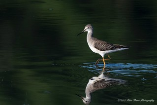 Lesser Yellowlegs ©