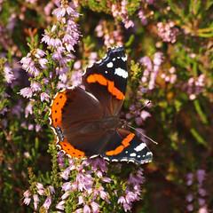 2017_08_1255 (petermit2) Tags: redadmiralbutterfly redadmiral butterfly heather hatfieldmoors hatfield lindholme doncaster southyorkshire yorkshire peat bog humberheadpeatlands humberhead naturalengland nnr