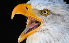 Weißkopfseeadler (karinrogmann) Tags: weiskopfseeadler greifvogel baldeagle birdofprey aquiladimaretestabianca rapace sigmac150600mm